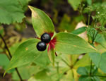 picture of Medeola virginiana, image of Medeola virginiana, photograph of Medeola virginiana