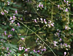 picture of Desmodium glabellum, image of Desmodium glabellum, photograph of Desmodium glabellum