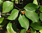 picture of Cornus florida, image of Cornus florida, photograph of Cornus florida