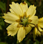 picture of Coreopsis auriculata, image of Coreopsis auriculata, photograph of Coreopsis auriculata
