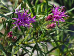 picture of -, image of Vernonia lettermannii, photograph of -