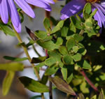 picture of Symphyotrichum oblongifolium, image of Symphyotrichum oblongifolium, photograph of Aster oblongifolius