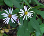 picture of Symphyotrichum prenanthoides, image of Symphyotrichum prenanthoides, photograph of Aster prenanthoides