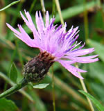 picture of Centaurea nigrescens, image of Centaurea nigrescens, photograph of -