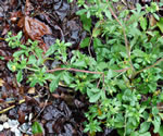 picture of Potentilla norvegica, image of Potentilla norvegica ssp. monspeliensis, photograph of Potentilla norvegica