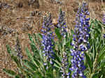 picture of Lupinus diffusus, image of Lupinus diffusus, photograph of Lupinus diffusus