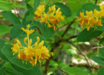 picture of Lonicera flava, image of Lonicera flava, photograph of Lonicera flava
