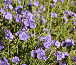 picture of Phacelia maculata, image of Phacelia maculata, photograph of Phacelia maculata