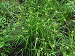 picture of Carex intumescens var. intumescens, image of Carex intumescens, photograph of Carex intumescens