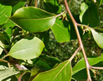 picture of Diospyros virginiana, image of Diospyros virginiana, photograph of Diospyros virginiana