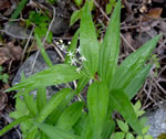 picture of Maianthemum stellatum, image of Maianthemum stellatum, photograph of -