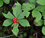 picture of Cornus canadensis, image of Cornus canadensis, photograph of -