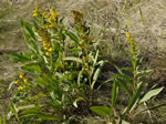 picture of Solidago sempervirens, image of Solidago sempervirens var. sempervirens, photograph of -