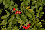picture of Rosa rugosa, image of Rosa rugosa, photograph of -
