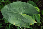 picture of Sagittaria latifolia +, image of Sagittaria latifolia, photograph of Sagittaria latifolia +