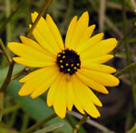 picture of Coreopsis gladiata, image of Coreopsis gladiata, photograph of Coreopsis gladiata