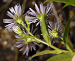 picture of Symphyotrichum puniceum var. puniceum, image of Symphyotrichum puniceum var. puniceum, photograph of Aster puniceus