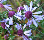picture of Symphyotrichum retroflexum, image of Symphyotrichum retroflexum, photograph of Aster curtisii