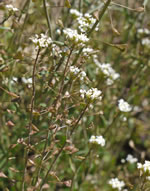 picture of Capsella bursa-pastoris, image of Capsella bursa-pastoris, photograph of Capsella bursa-pastoris