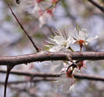 picture of Prunus americana, image of Prunus americana, photograph of Prunus americana var. americana