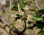 picture of Malus pumila, image of Malus pumila, photograph of Malus pumila