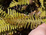 picture of Polypodium appalachianum, image of Polypodium appalachianum, photograph of Polypodium virginianum