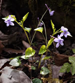 picture of Viola rostrata, image of Viola rostrata, photograph of Viola rostrata