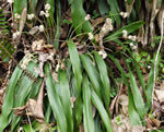 picture of Carex fraseriana, image of Cymophyllus fraserianus, photograph of Cymophyllus fraseri