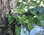 picture of Pleopeltis michauxiana, image of Pleopeltis polypodioides ssp. michauxiana, photograph of Polypodium polypodioides
