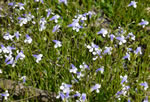 picture of Lindernia monticola, image of Lindernia monticola, photograph of Lindernia monticola