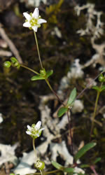 picture of Minuartia uniflora, image of Minuartia uniflora, photograph of Arenaria uniflora