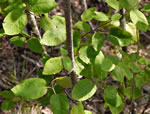 picture of Amelanchier sanguinea, image of Amelanchier sanguinea var. sanguinea, photograph of Amelanchier sanguinea
