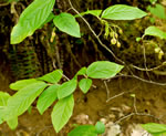 picture of Gaylussacia ursina, image of Gaylussacia ursina, photograph of Gaylussacia ursina