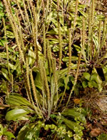 picture of Plantago virginica, image of Plantago virginica, photograph of Plantago virginica