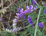 picture of Vicia villosa ssp. varia, image of Vicia villosa ssp. varia, photograph of Vicia dasycarpa
