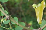 picture of Smilax bona-nox, image of Smilax bona-nox, photograph of Smilax bona-nox
