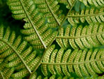 picture of Dryopteris goldiana, image of Dryopteris goldiana, photograph of Dryopteris goldiana