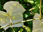 picture of Vitis labrusca, image of Vitis labrusca, photograph of Vitis labrusca