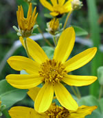 picture of Coreopsis major var. major, image of Coreopsis major, photograph of Coreopsis major var. major