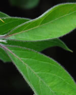 picture of Lonicera maackii, image of Lonicera maackii, photograph of -
