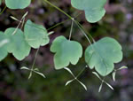 picture of Thalictrum clavatum, image of Thalictrum clavatum, photograph of Thalictrum clavatum