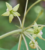 picture of Asclepias exaltata, image of Asclepias exaltata, photograph of Asclepias exaltata