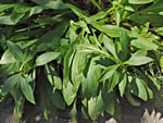 picture of Solidago simulans, image of Solidago simulans, photograph of Solidago uliginosa