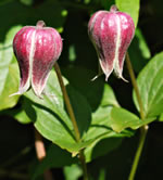 picture of Clematis viorna, image of Clematis viorna, photograph of Clematis viorna