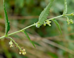 picture of Tragia urticifolia, image of Tragia urticifolia, photograph of Tragia urticifolia