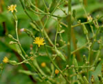 picture of Lactuca canadensis, image of Lactuca canadensis, photograph of Lactuca canadensis