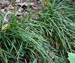 picture of Ophiopogon japonicus, image of Ophiopogon japonicus, photograph of -