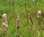 picture of Typha latifolia, image of Typha latifolia, photograph of Typha latifolia