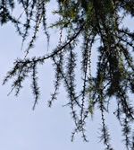 picture of Larix decidua, image of Larix decidua, photograph of -