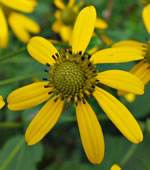 picture of Rudbeckia laciniata var. humilis, image of Rudbeckia laciniata var. digitata, photograph of Rudbeckia laciniata